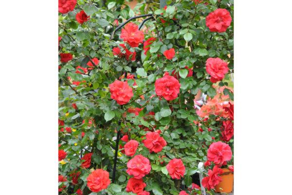cespuglio rose