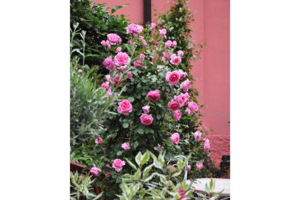 cespuglio rose rosa