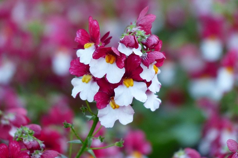 Come coltivare la Nemesia: per un balcone fiorito tutto l'anno