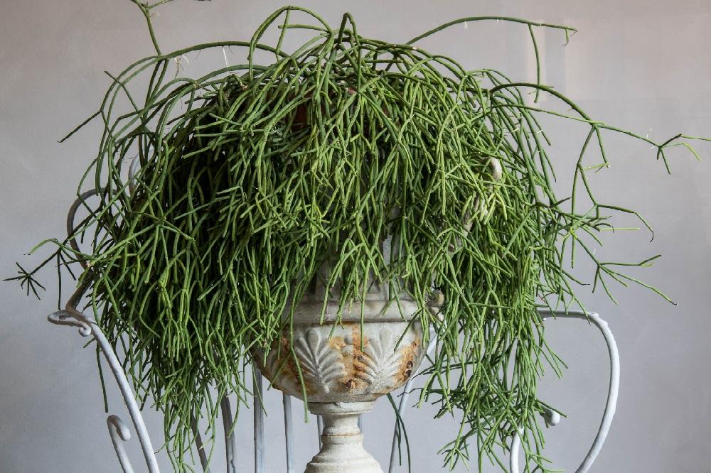 coltivare la Rhipsalis