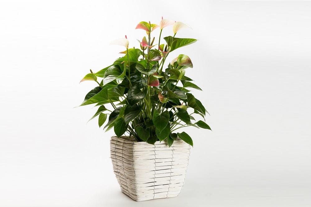 coltivare un ANTHURIUM ANDREANUM
