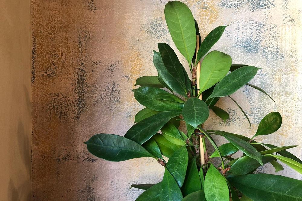 coltivare il Ficus cyathistipula